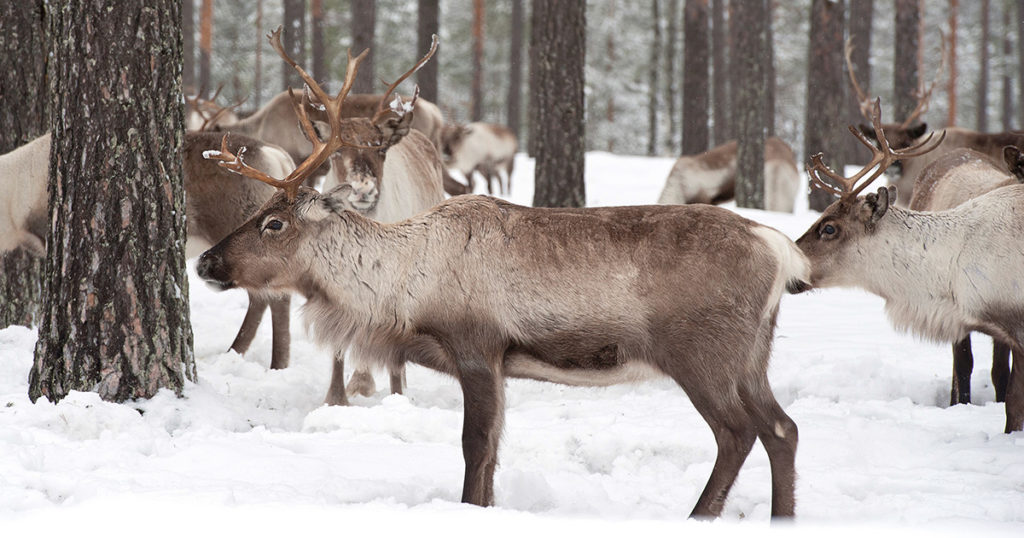 reindeer, arctic, santa, north pole