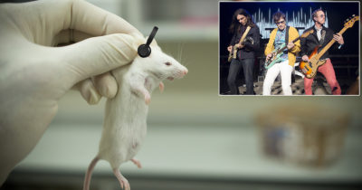 weezer, rats, music testing, lab test, human trials