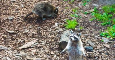 raccoons, food, gross, hungry, food, punks