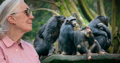 chimps, pink shirt, lady, old lady, monkeys, eat, delicious, glasses, gray hair, tree