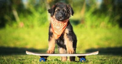 punk, dog, skateboarding